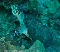 BD-090922-Bunaken-9223731-Eretmochelys-imbricata-(Linnaeus.-1766)-[Hawksbill-turtle.-Karettsköldpadda].jpg